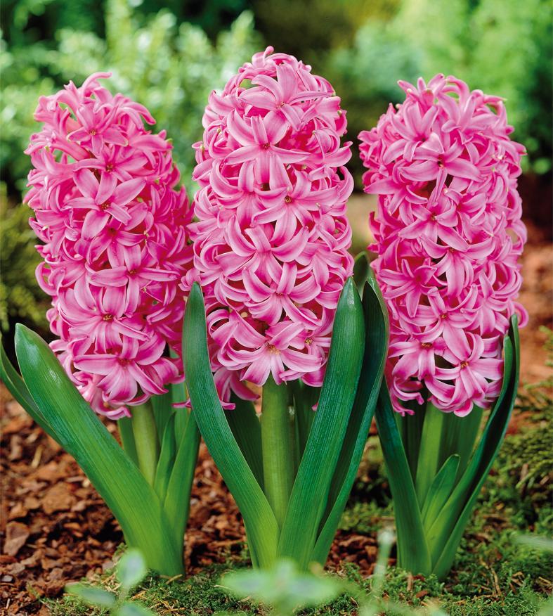 Jacinthe Pink Pearl n°03640