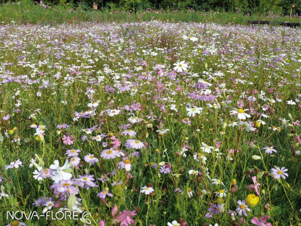 Prairie fleurie AMENAGEMENT - GAZON FLEURI - CP