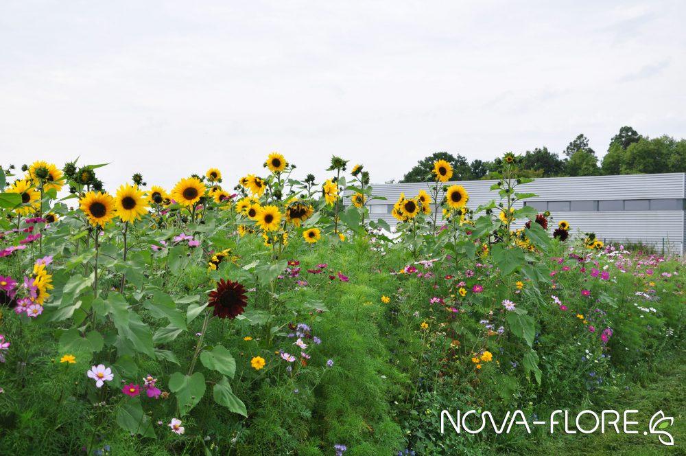 Prairie fleurie BIODIVERSITE - MIELLEE ANNUELLES ET VIVACES - CP