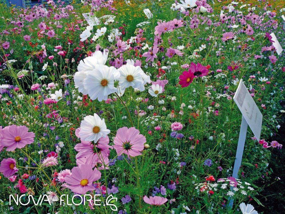 Prairie fleurie FLEURISSEMENT - PASTELS D ETE - CP