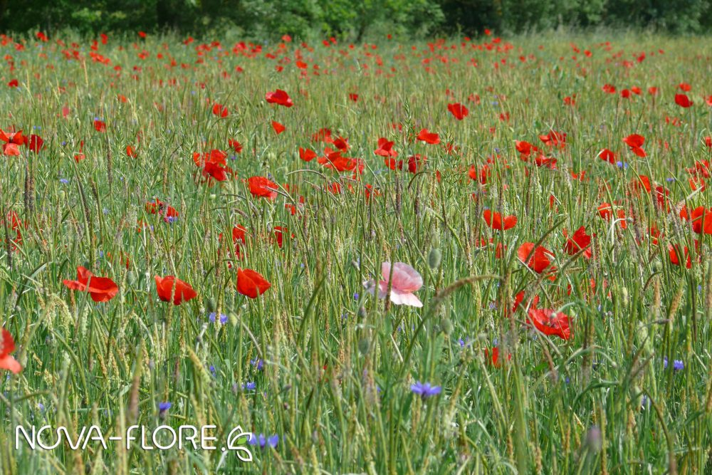 Prairie fleurie NATURA - NOE POLLINISATEURS SAUVAGES - CP