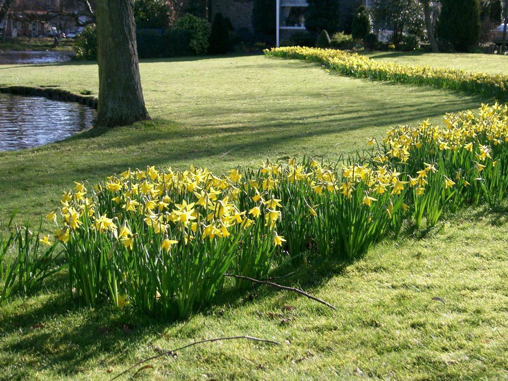 Plantation mécanisée mélange de narcisses en pleine floraison