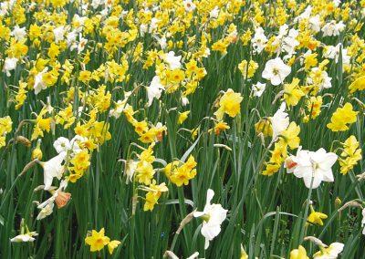 Mélange naturel - Narcisses traditionnels - 59850